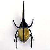 ヘラクレスオオカブトのイメージ画像